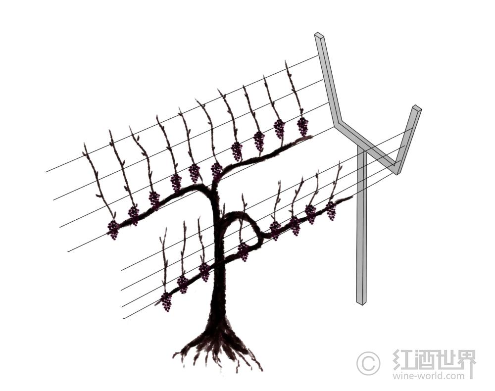 """葡萄树:美丽的""""造型""""背后大有学问"""