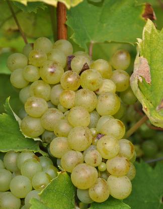 盘点被世人低估的十大白葡萄品种