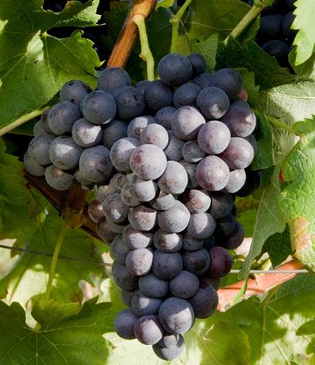 德国葡萄酒不等于雷司令:细数德国主要的葡萄酒类型