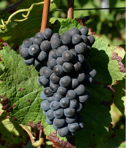 想成为葡萄酒达人?先了解这四种红葡萄酒吧