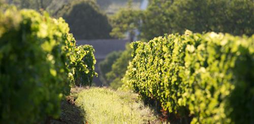 波尔多干白:严肃的陈年型白葡萄酒