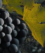 速成课堂:意大利最著名的葡萄品种——桑娇维塞
