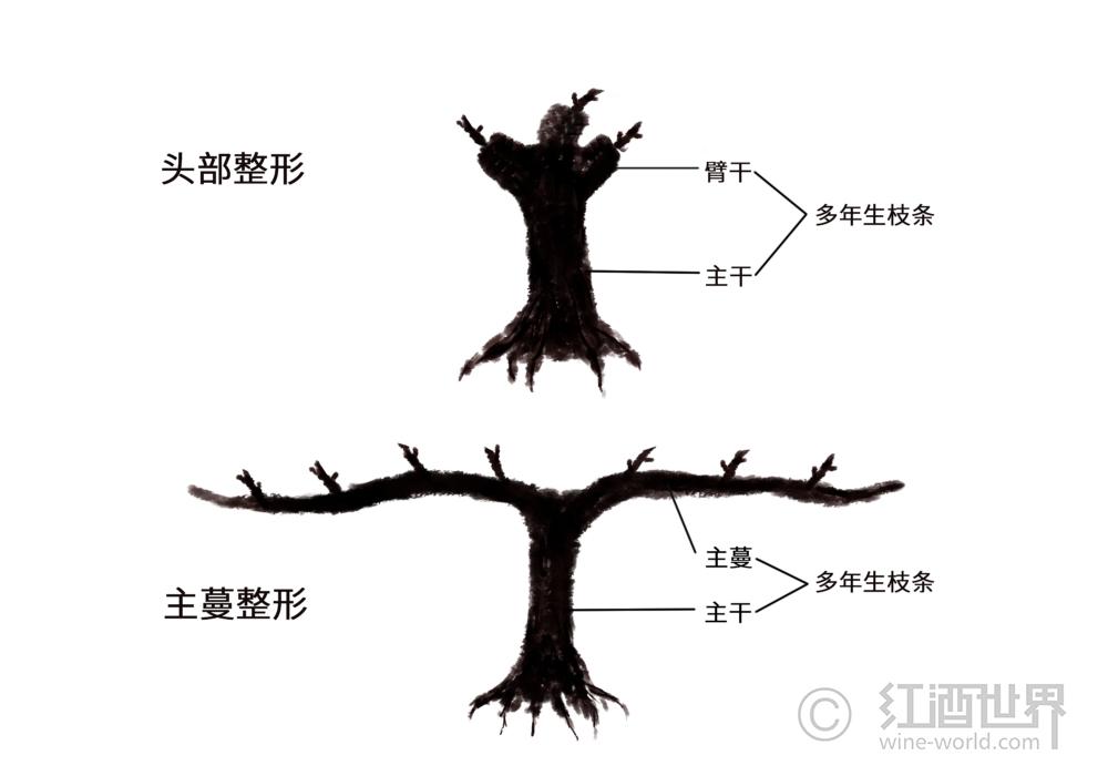 葡萄藤为什么要剪枝?