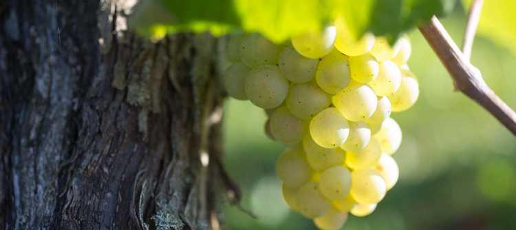 教你识别葡萄酒中的果味