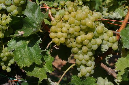 全球十大种植面积最广的酿酒葡萄,它竟排第三!