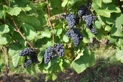 法国葡萄品种知识小测