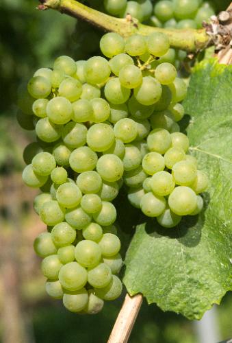 皮诺家族:葡萄中的贵族