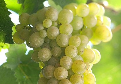 快速了解白皮诺葡萄酒