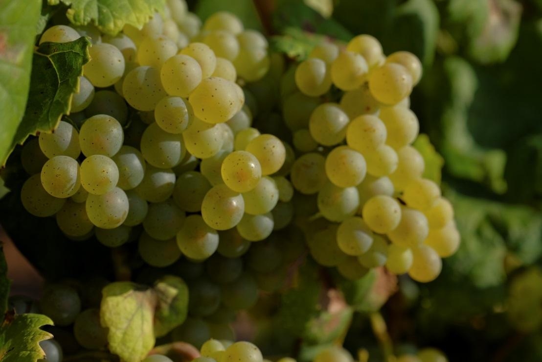 西班牙葡萄酒的明日之星:阿尔巴利诺白葡萄酒