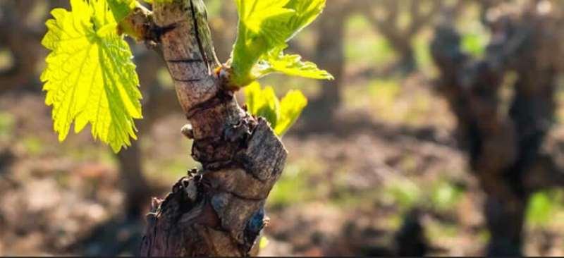 智利佳美娜能否匹敌世界最佳红葡萄酒?