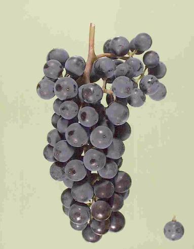 """葡萄""""相爱""""的产物"""
