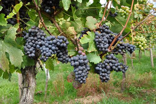 葡萄品种大揭秘之古老的皮诺家族