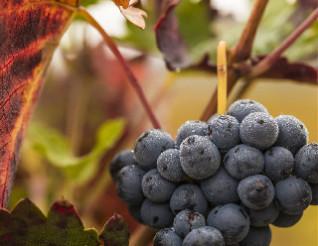 科普:鲜食葡萄与酿酒葡萄的区别