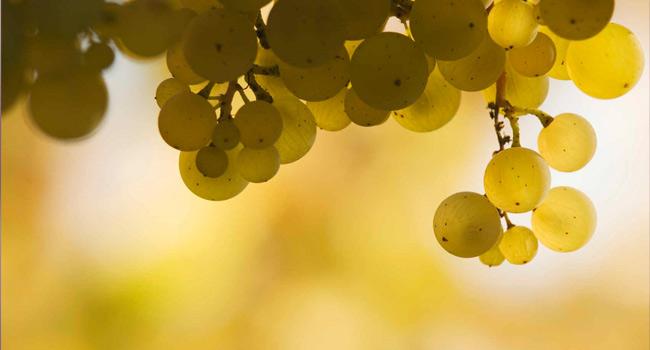 芳香型白葡萄品种一览