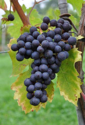 中国各大葡萄酒产区,赤霞珠占主导