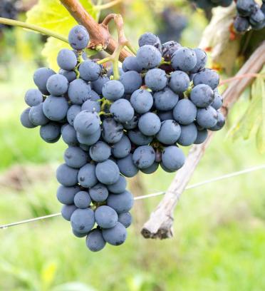 选酒要有招:如何挑选一款合适的桑娇维塞葡萄酒