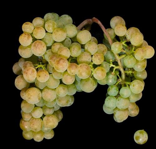 葡萄牙紅白葡萄品種一覽表
