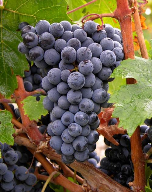 葡萄酒中的水果香——红VS黑