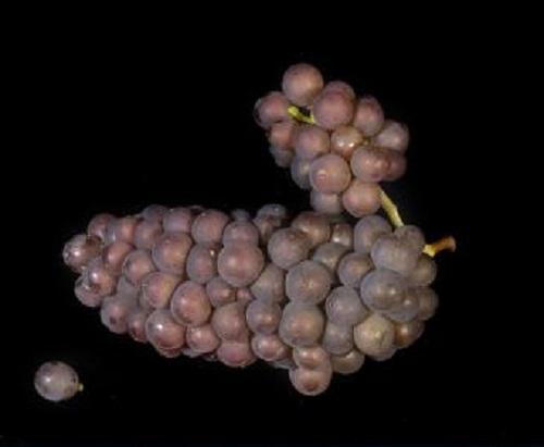 """Pinot Grigio,""""意式""""灰皮诺的别样风味"""