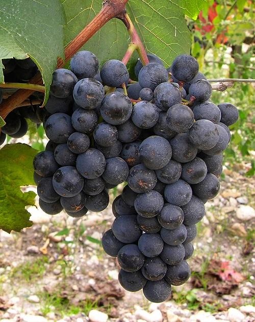马尔贝克:被阿根廷人推向世界的葡萄品种