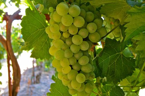 白佳丽酿(Carignan Blanc)