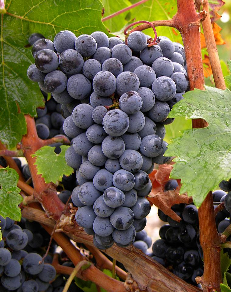 最常见的十大红葡萄品种