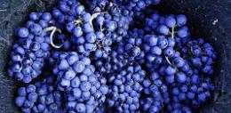 """一图膜拜""""绝代皇后""""——黑皮诺葡萄酒"""