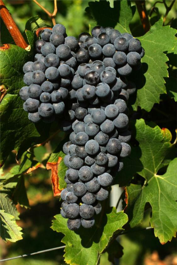 意大利北部葡萄酒小测