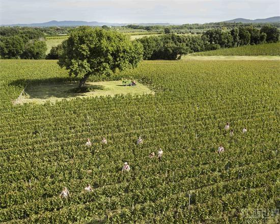 意大利提前采收葡萄,又是一个好年份?