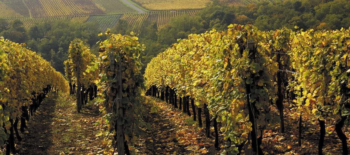 不可不知的白葡萄品種——雷司令