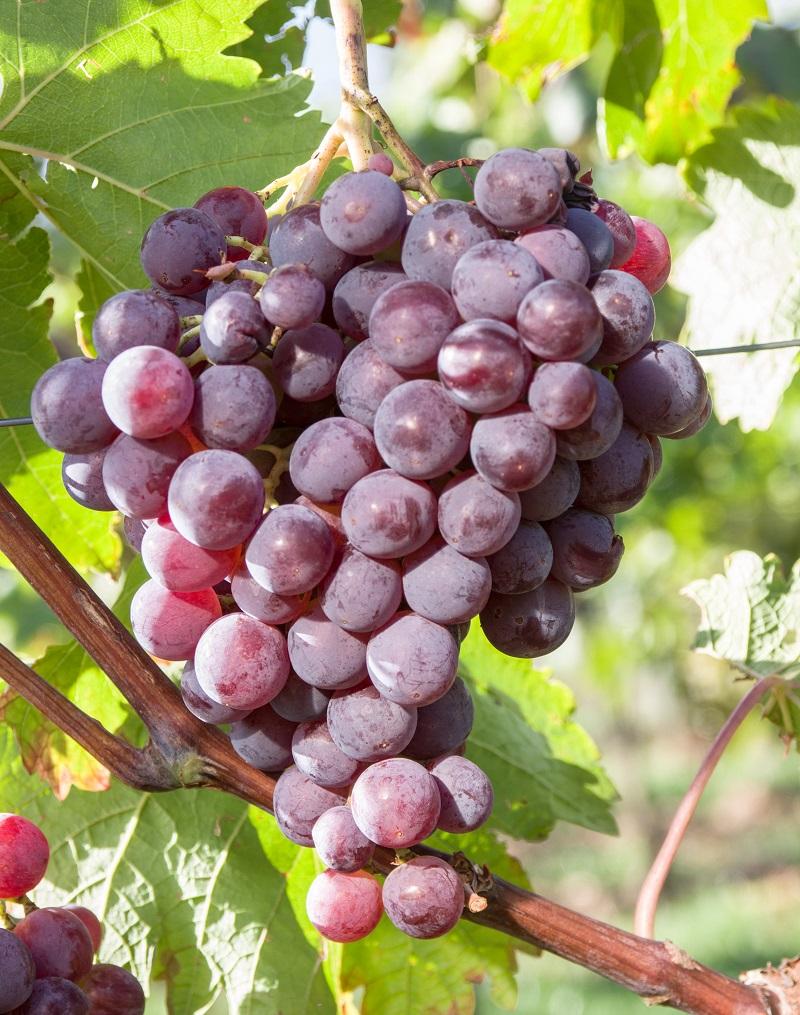 那些鲜为人知的中国特色葡萄品种