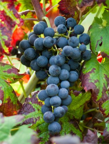智利葡萄品种大观园之佳美娜篇