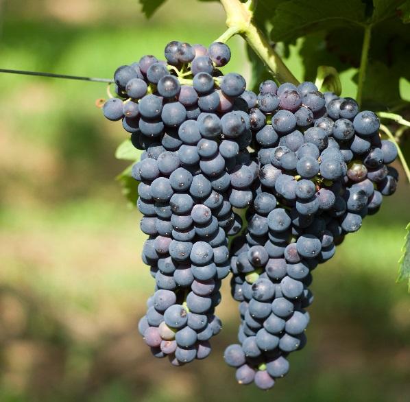 除了赤霞珠,这些葡萄酒也不错