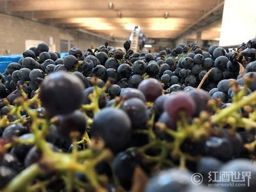 2013年欧洲葡萄采摘报告