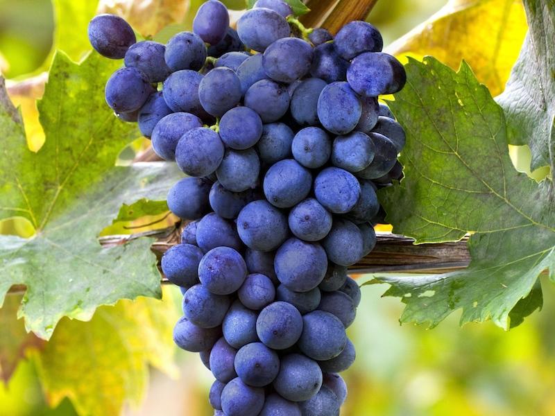 揭秘阿玛罗尼的四大酿酒品种
