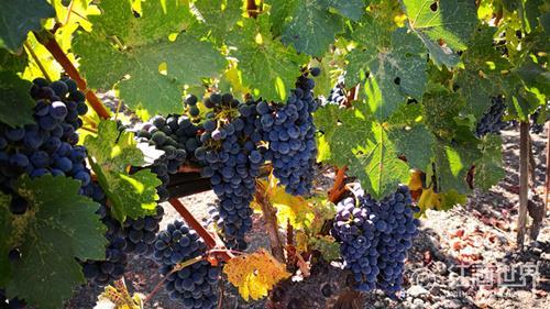 葡萄酒的美洲成长记