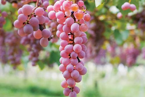 日本竟也存在精品葡萄酒酒庄?