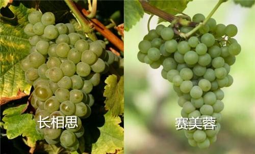 混酿葡萄酒,不同品种间各取所长