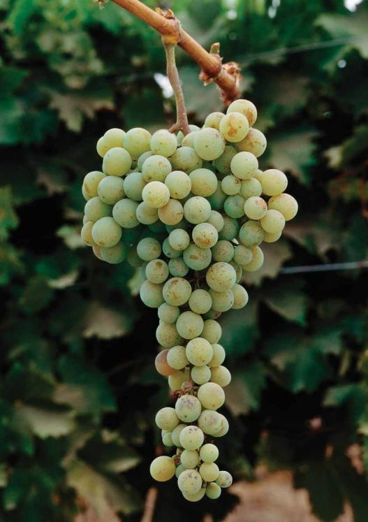 麝香:葡萄味的葡萄酒,除了我还真不多