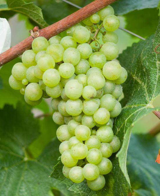 华盛顿州葡萄收成创纪录