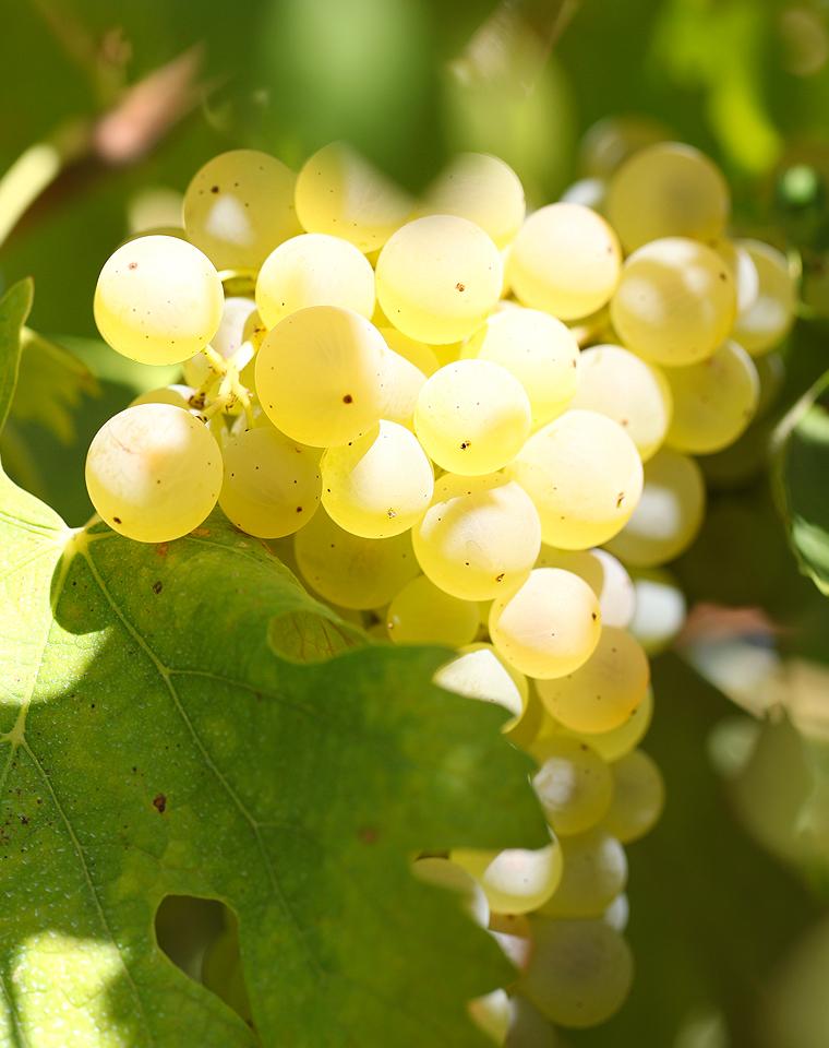 集结令:波尔多七大白葡萄品种