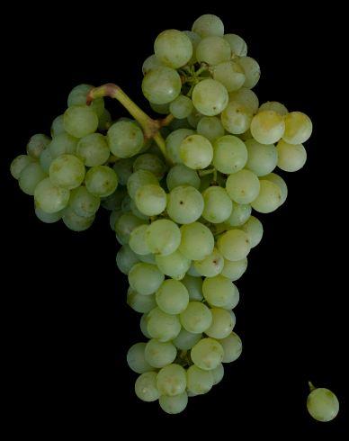 甜葡萄酒中的贵族——贵腐甜葡萄酒的四小花旦