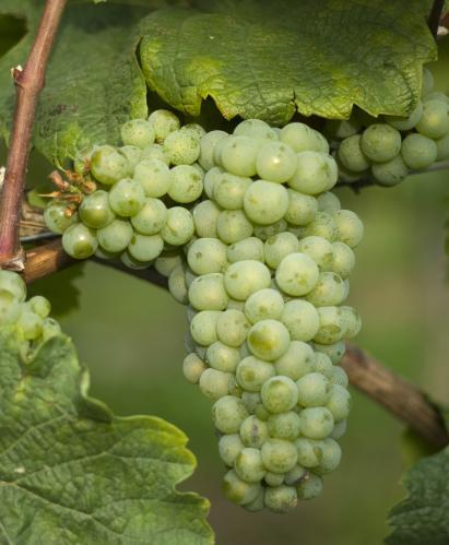 令人垂涎欲滴的贵腐甜酒是用什么品种酿的?