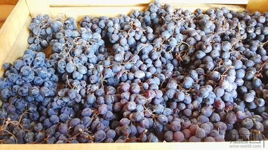 波尔多大丰收 法国葡萄酒产量有望重回世界第一