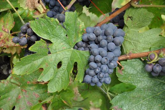 皮诺塔吉:一种适合BBQ的南非红酒