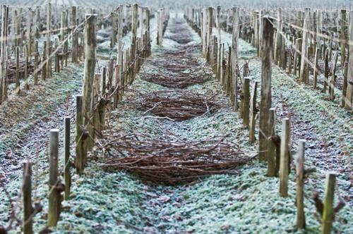寒冬的葡萄园,酒农也在辛勤劳作……
