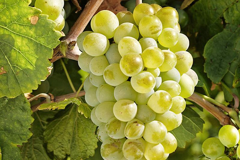 细说西班牙两大白葡萄品种——弗德乔和阿尔巴利诺