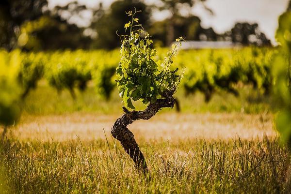 老藤葡萄酒,品质的象征还是倚老卖老?