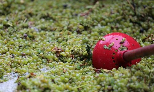 为什么红葡萄能酿红葡萄酒,也能酿白葡萄酒?