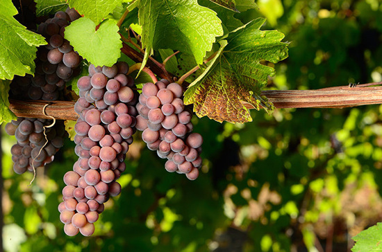 灰皮诺(Pinot Gris)
